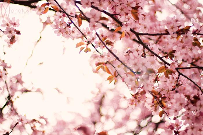 rosa_blommor_maj2013_1_webben
