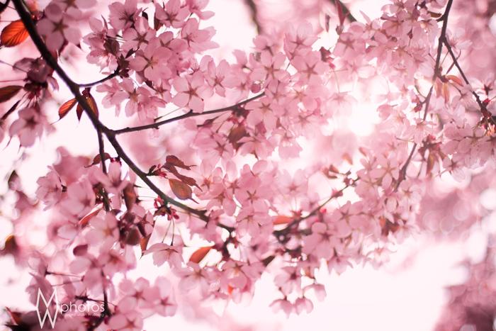 rosa_blommor_maj2013_3_webben