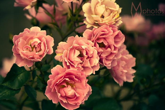 blommor_juli_2012_1_webben