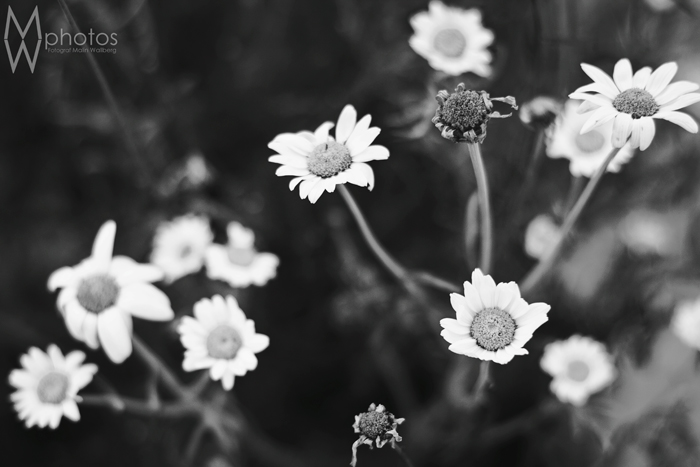 blomma_juli_2013_2_bw_webben