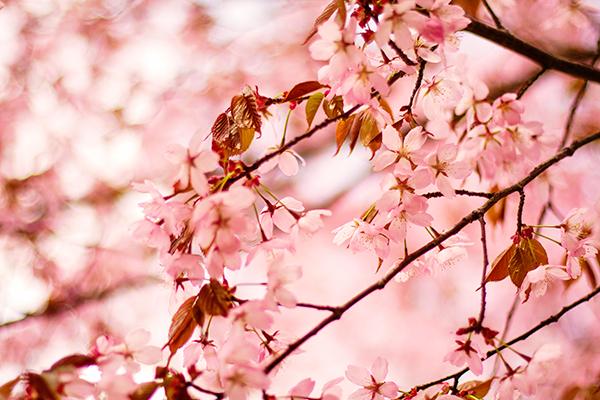 rosa_blommor_maj2013_5_ac_webben