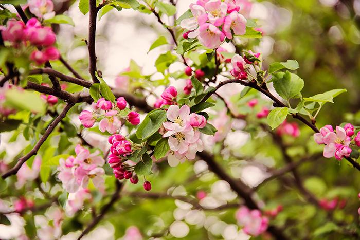 pink_flowers_maj_2016_2_webben